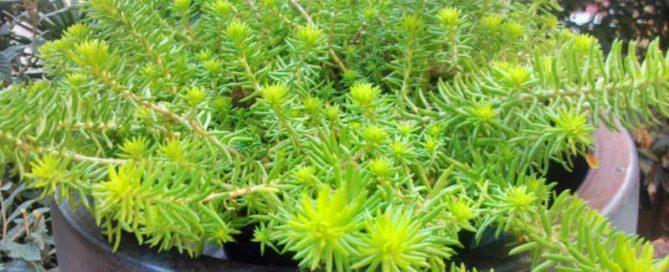 sedum lemon ball jardines