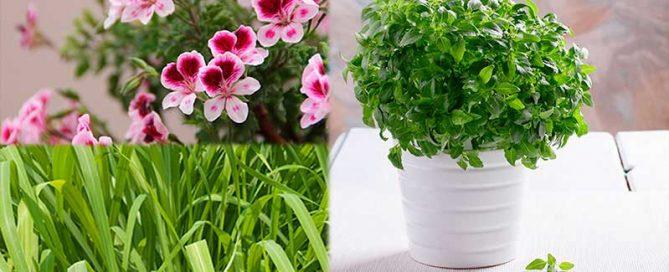plantas para ahuyentar a los mosquitos