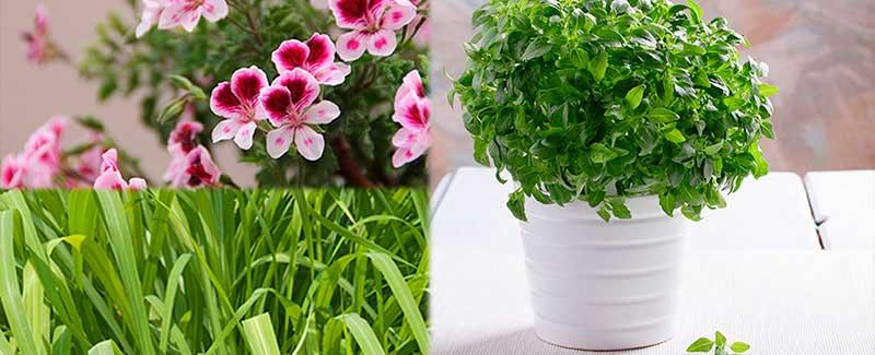 Plantas para ahuyentar a los mosquitos blog sverd jardiner a - Como ahuyentar mosquitos ...